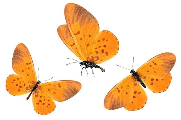 Trois papillons oranges avec des taches rouges sur les ailes. isolé sur fond blanc.