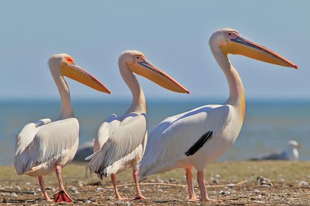 Trois pélicans blancs se tiennent sur le banc de sable