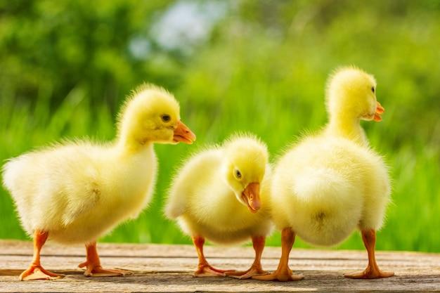 Trois petites oies jaunes sur fond vert naturel
