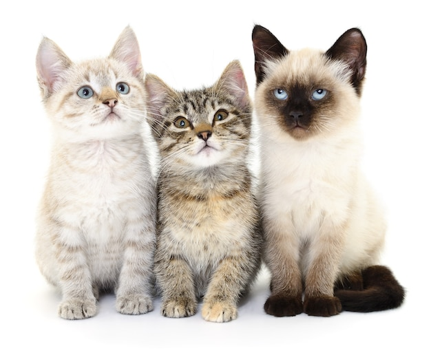 Trois petits chatons sur blanc.