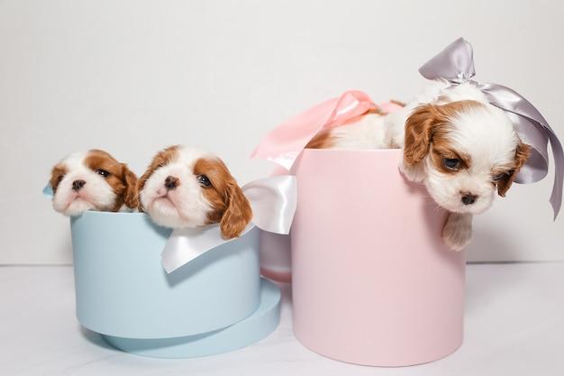 Trois petits chiots avec des arcs dans des boîtes roses et bleues sur fond blanc