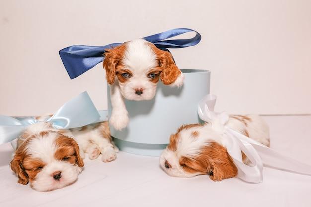 Trois petits chiots avec des arcs multicolores dans une boîte bleue sur fond blanc