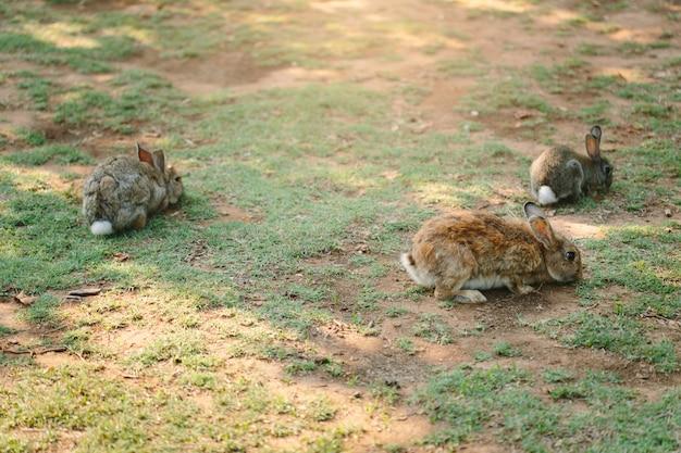 Trois petits lapins marchant sur la prairie mangeant de l'herbe
