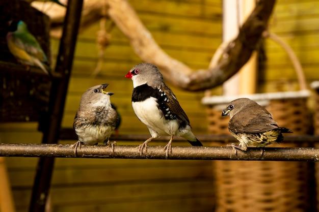 Trois petits oiseaux pinson sur une branche dans une pépinière d'oiseaux