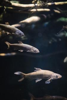 Trois poissons bruns
