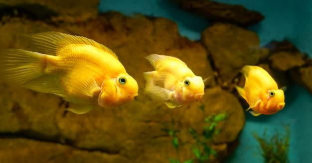 Trois poissons jaunes tropicaux d'affilée regardant droit devant.