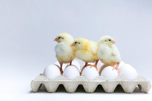 Trois poussins jaunes et œufs de poule