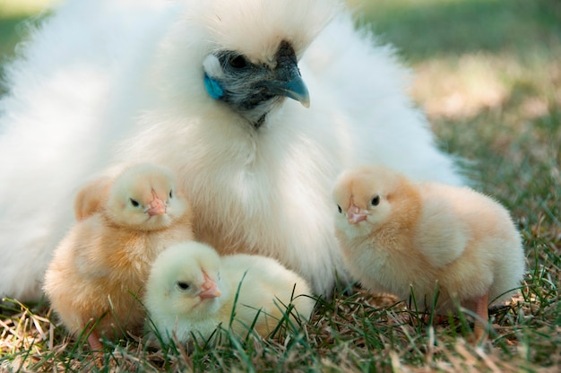 Trois poussins avec leur mère