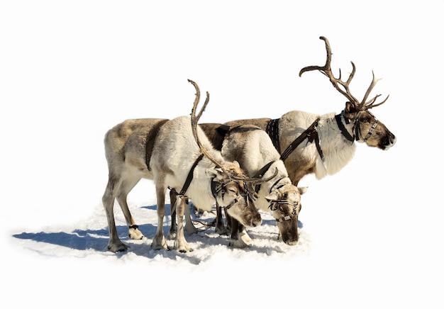 Trois rennes sur fond blanc.