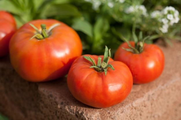 Trois tomates mûres du jardin