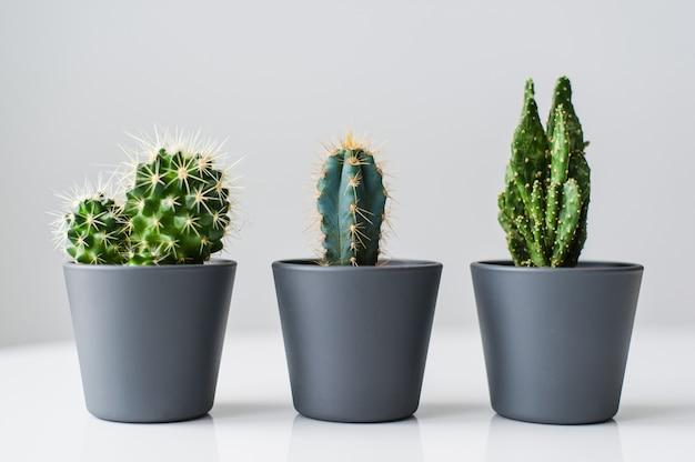 Trois types de cactus verts sur fond gris. plante domestique succulente
