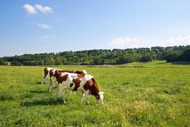 Trois vaches broutant dans les champs
