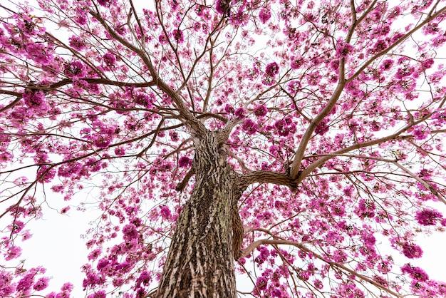 Trompette rose sur l'arbre sans feuille, vue de la fourmi