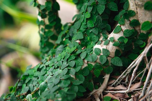 Tronc d'arbre enlacé de lierre, une texture