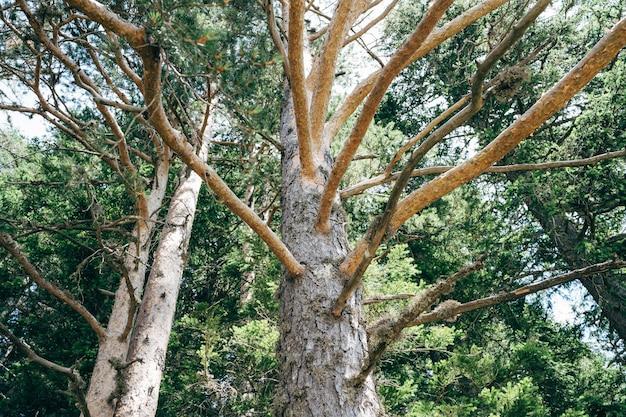 Le tronc et les branches de la haute épinette dans les bois