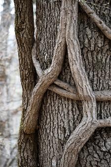 Un tronc épais d'un arbre est entrelacé de branches minces en gros plan sur une forêt dense de croissance anormale des arbres