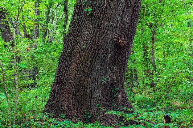 Tronc épais d'un vieil arbre dans une forêt verte