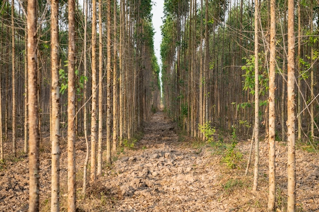 Tronc de gommiers ou d'eucalyptus sur les pentes montagneuses de l'est de prachin buri, chonburi et rayong, thaïlande.