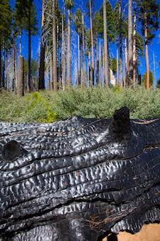 Tronc de séquoia calciné brûlé à yosemite