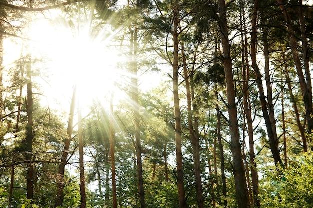 Troncs d'arbres de forêt de pins et rayons de soleil sur la nature