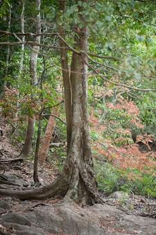 Troncs d'arbres matures dans la forêt tropicale avec des racines épaisses