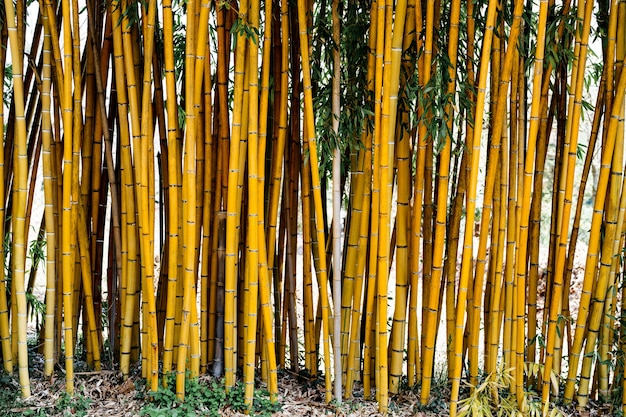 Troncs de bambou poussant dans le sol texture de mur de bambou troncs de bambou vivants avec des feuilles