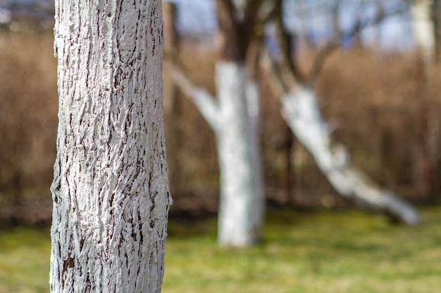 Troncs de pommiers peints à la peinture blanche pour protéger contre les rongeurs dans le jardin