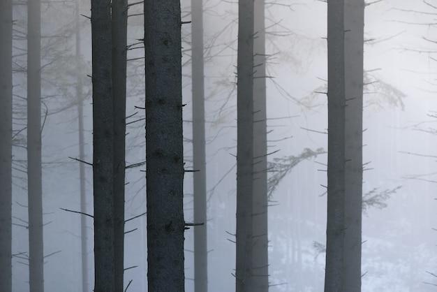 Troncs de sapins dans le brouillard