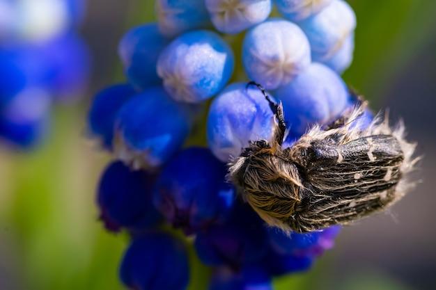 Tropinota hirta mange des fleurs. concept de lutte antiparasitaire insecticide.