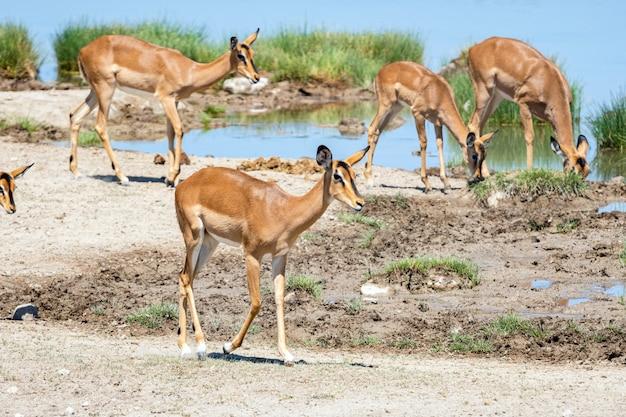 Troupeau d'antilopes et d'autruches springboks au point d'eau, okaukuejo, etosha national park, namibie