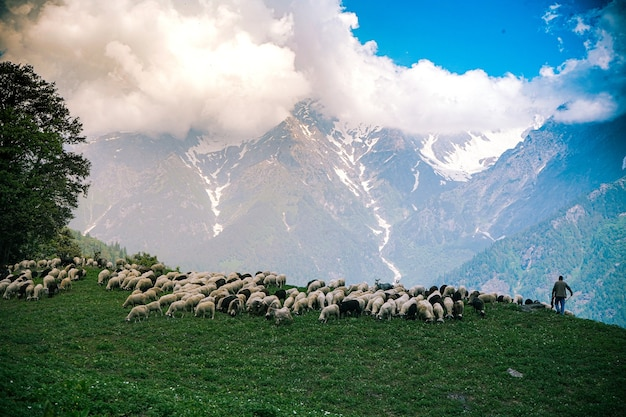 Troupeau de bétail paissant dans les champs verts