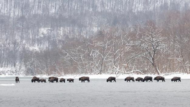 Troupeau de bisons d'europe traversant la rivière dans la nature hivernale
