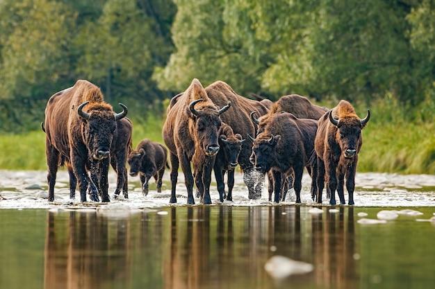 Troupeau de bisons d'europe traversant une rivière