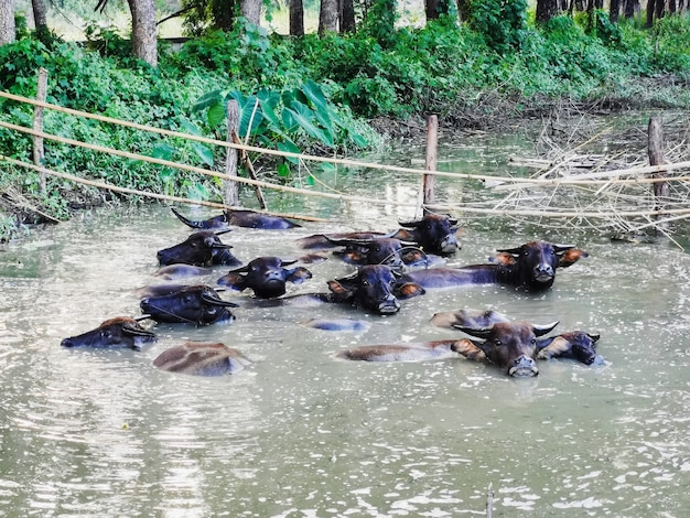 Le troupeau de bisons trempe l'eau dans l'étang boueux