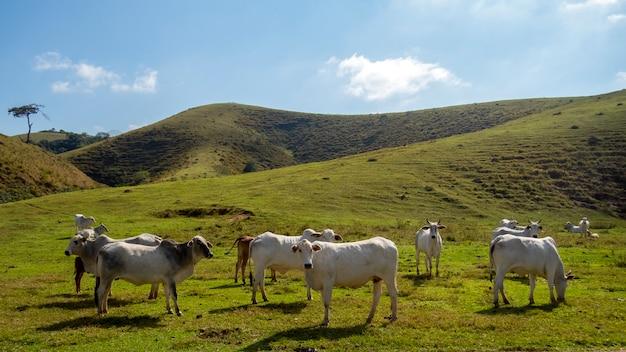 Troupeau de bovins nelore élevés pour l'engraissement. l'élevage et l'économie du brésil.