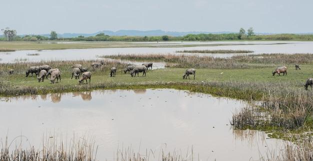 Troupeau de buffles dans les zones humides, thaïlande