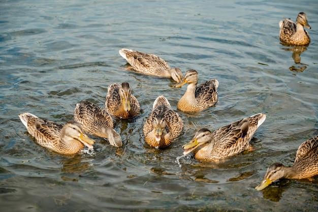 Un troupeau de canards colverts sauvages nagent sur le lac