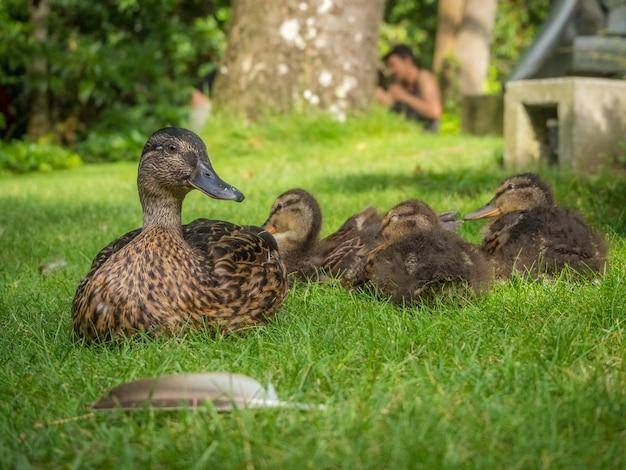 Troupeau de canards dans un champ herbeux sous la lumière du soleil