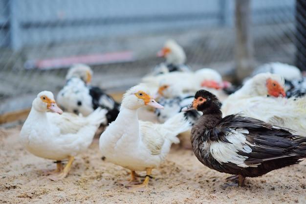 Troupeau de canards musqués noirs et blancs