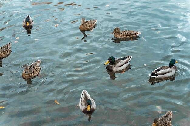 Un troupeau de canards nagent dans l'étang