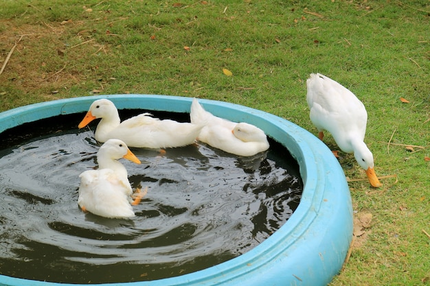 Troupeau de canards de pékin blancs nager et se détendre dans le bassin arrière