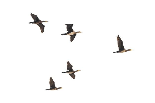 Troupeau de canards sauvages en vol isolé sur fond blanc