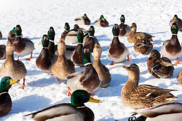 Troupeau de canards