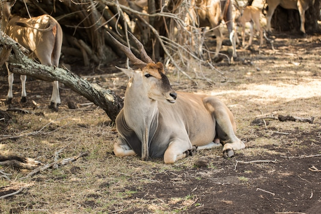 Troupeau de cerfs africains à l'état sauvage. maurice.