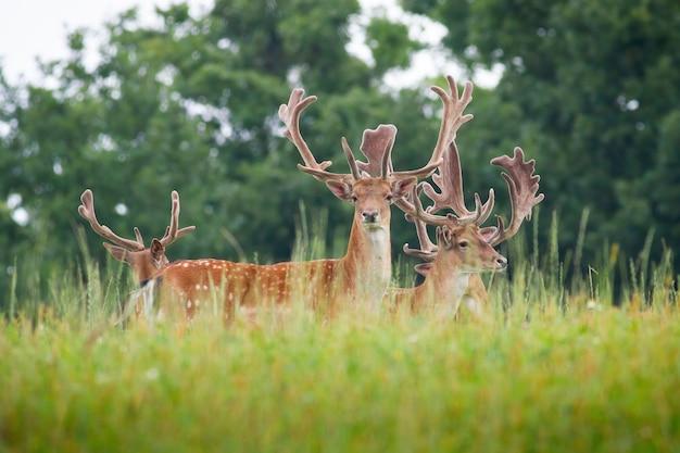 Troupeau de cerfs en jachère avec des bois enveloppés de velours debout sur meadow