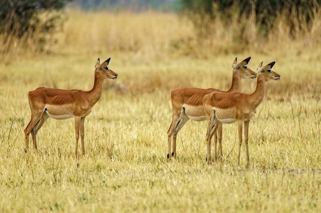 Troupeau de cerfs marchant dans un champ herbeux dans la nature avec un arrière-plan flou