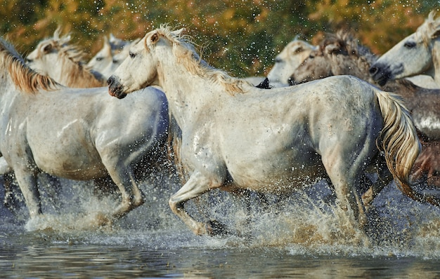 Troupeau de chevaux camarguais courant dans l'eau