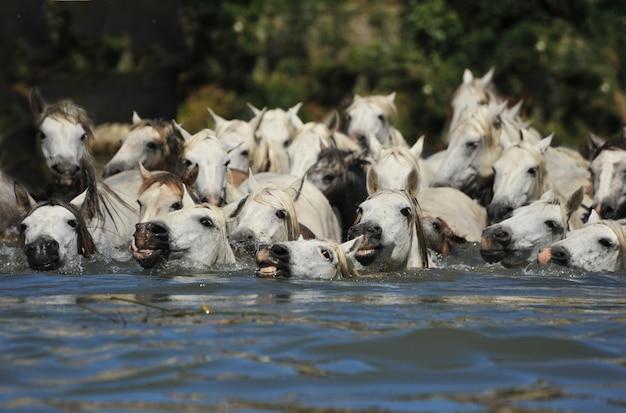 Troupeau de chevaux camarguais