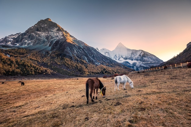 Troupeau de chevaux dans le pré avec montagne sacrée de yangmaiyong au coucher du soleil