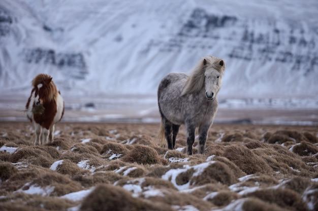 Troupeau de chevaux islandais dans un champ enneigé paissant en islande